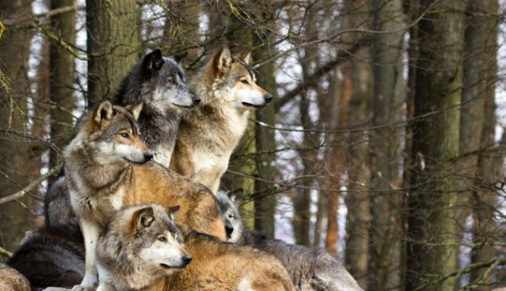 Le management du loup